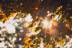 Autumn orange vivid mapple tree leaves  Stock Photography