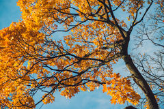 Autumn orange vivid mapple tree leaves with the blue sky background Stock Image