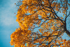Autumn orange vivid mapple tree leaves with the blue sky background Royalty Free Stock Image