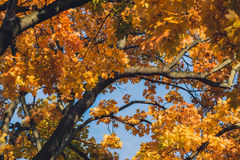 Autumn orange vivid mapple tree leaves with the blue sky background Stock Photo