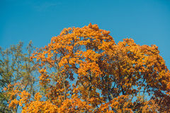 Autumn orange vivid mapple tree leaves with the blue sky background Stock Images