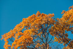 Autumn orange vivid mapple tree leaves with the blue sky background Stock Photos