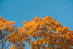 Autumn orange vivid mapple tree leaves with the blue sky background Royalty Free Stock Images