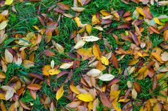 Orange and yellow cherry tree leaves laying on the still green grass. Stock Photography