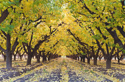 Autumn in orchard. Golden autumn in orchard alley Royalty Free Stock Photo