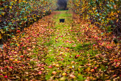 Autumn in orchard. Apple and leaves on the ground in orchard during harvest in autumn Royalty Free Stock Photos