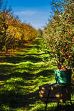 Autumn in orchard. Apple and leaves on the ground in orchard during harvest in autumn royalty free stock image