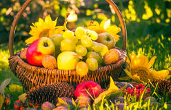 Autumn orchard basket fresh fruit sunlight Royalty Free Stock Images