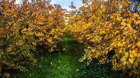 Autumn in orchard. Cherry trees with yellow leaves in autumn Stock Photos