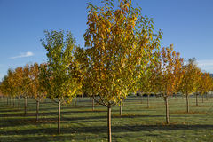 Autumn orchard of decorative trees with some leaves on ground Royalty Free Stock Photo