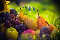 Autumn orchard fruit crops grass sunset. Autumn in the orchard: fruit crops in the grass at sunset royalty free stock photography
