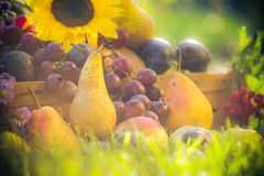 Autumn orchard fruit crops grass sunset. Autumn in the orchard: fruit crops in the grass at sunset stock images