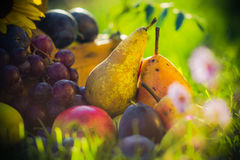 Autumn orchard fruit crops grass sunset. Autumn in the orchard: fruit crops in the grass at sunset royalty free stock image