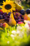 Autumn orchard fruit crops grass sunset Royalty Free Stock Photos