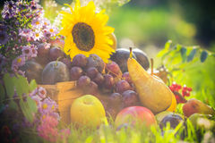 Autumn orchard fruit crops grass sunset Royalty Free Stock Photo