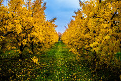 Autumn in orchard. Plum trees with yellow leaves in autumn Stock Image