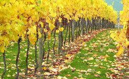 Autumn Orchard Vineyard. Beautiful autumn orchard vineyard in all its bright yellow autumnal colours with fallen leaves turning shades of red and brown Stock Image