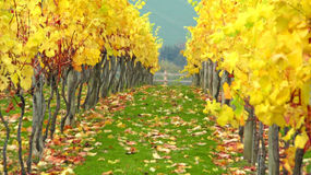 Autumn orchard vineyard. Photo of a beautiful orchard vineyard in all its golden autumn colours. Fallen leaves have rich red and brown colours Royalty Free Stock Photo