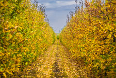 Autumn in orchard. Yellow leaves on the trees in orchard stock images