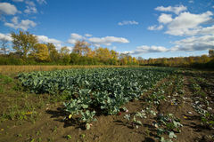 Autumn organic farm landscape. Rows of harvested broccoli on an organic farm in autumn.The background is colorful trees and fields under blue skies with white Stock Photos
