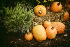 Autumn Outdoor Decor - Nostalgic 1. Autumn decor. Pumpkins, chrysanthemum, hay, and a Juniper bush arranged in a outdoor display. Nostalgic processing royalty free stock photos
