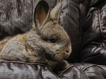 Little gray rabbit. Autumn outdoors cute, furry, gray, little rabbit in girlish hands, on a green background, macro photo Royalty Free Stock Photos