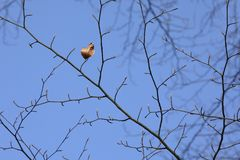 The last leaf of a Beech tree. Autumn is over and winter has just begun as this last leaf of a Beech tree is hanging there. There are already buttons on the Royalty Free Stock Photo