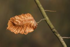 The last leaf of a Beech tree Stock Photo