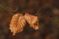 The last leaves of a Beech tree stock images