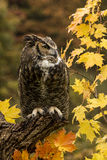 Autumn Owl Stock Images