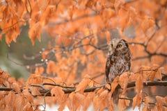 Autumn Owl Foto de Stock