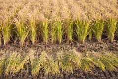Autumn paddy field Stock Photos