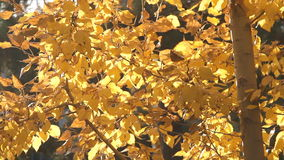 Autumn painted tree with it's leaves glowing stock video
