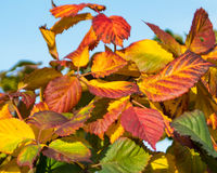 Autumn Paints from a bright palate. Splashes of Bright golds and reds brighten the countryside royalty free stock photo