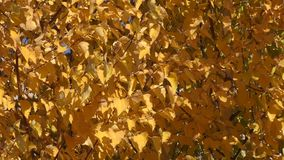 Autumn paints the southern Urals. Nature of southern Urals in the autumn stock video footage
