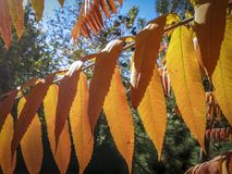 Autumn palette of colors and shades on the leaves of Rhus typhina Staghorn sumac, Anacardiaceae. Red, orange, yellow and green l. Eaves on the branches of sumac royalty free stock images