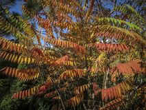 Autumn palette of colors and shades on the leaves of Rhus typhina Staghorn sumac, Anacardiaceae. Red, orange, yellow and green l. Eaves on the branches of sumac stock photography