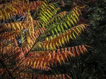 Autumn palette of colors and shades on the leaves of Rhus typhina Staghorn sumac, Anacardiaceae. Red, orange, yellow and green l. Eaves on the branches of sumac royalty free stock image