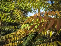 Autumn palette of colors and shades on the leaves of Rhus typhina Staghorn sumac, Anacardiaceae. Red, orange, yellow and green l royalty free stock photo