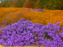 Autumn palette. Violet asters flowers in US National Arboretum blooming in the Fall, Washington DC Royalty Free Stock Images