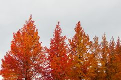 Autumn palette from yellow to red.  stock photography