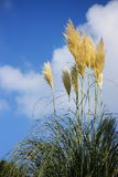Autumn Pampus grass Royalty Free Stock Photography
