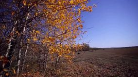 Autumn panorama in forest at field with a sun. HD. 1920x1080 stock video footage