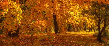 Autumn Panorama. Autumn  landscape Background with maple trees with Yellow and Red falling leaves. Autumn Panorama. Autumn landscape Background with maple trees stock images