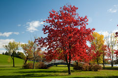 Autumn panorama of maple trees. Royalty Free Stock Photo