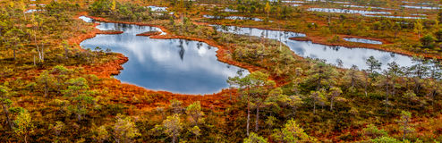 Autumn panorama of yellow swamp. With ponds Royalty Free Stock Image
