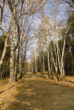 Autumn park. Birch alley in autumn park Royalty Free Stock Photography