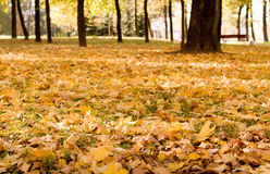 Autumn park. Mapple leaves in the beautiful autumn park Stock Images