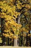 Autumn park. Beautiful tree in autumn park, Uman, Sofiyivka, Ukraine Stock Images