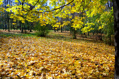 Autumn park. Glade in the park, covered with gold maple leaves Royalty Free Stock Images